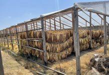 Как выращивают табак в Дагестане